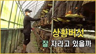 문상영 상황버섯농장 버섯 점검하기