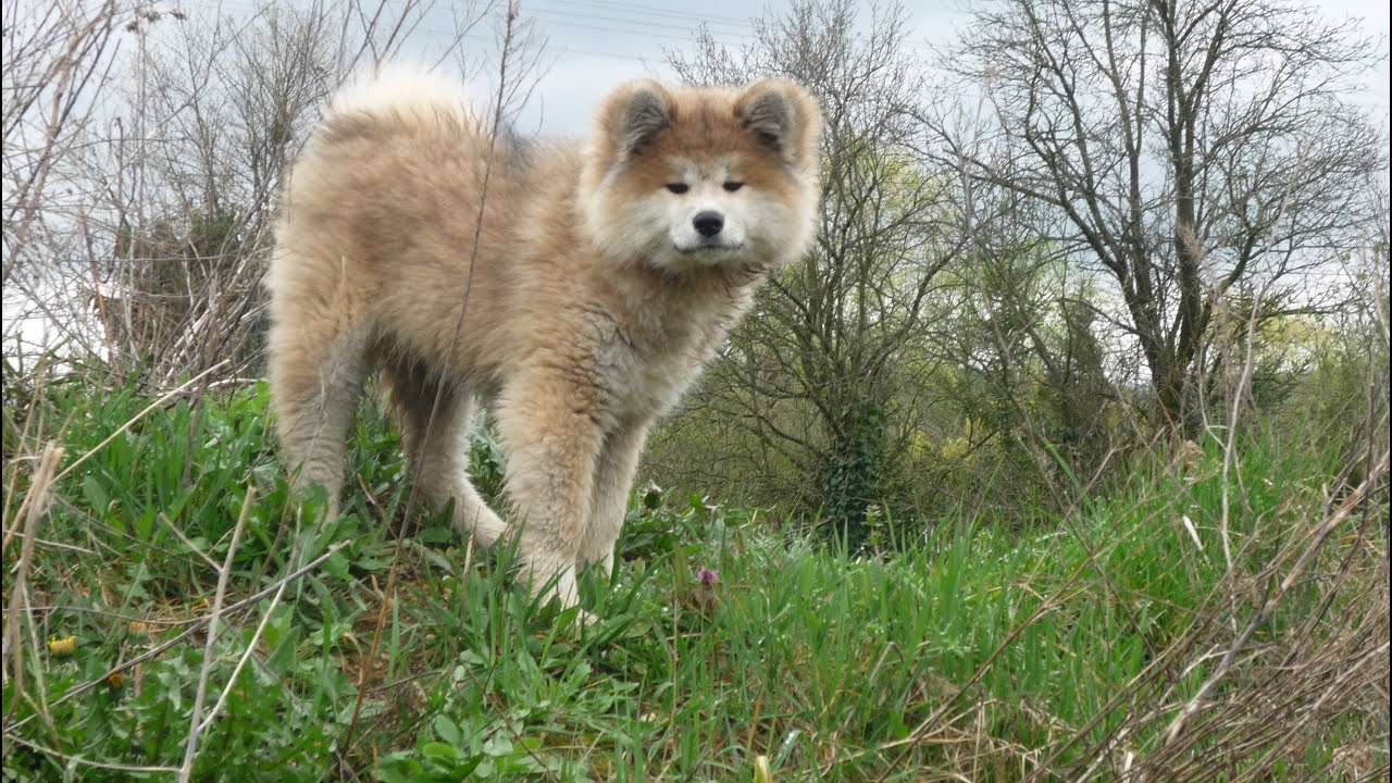 long coated akita inu - YouTube
