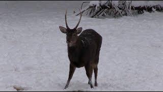 Охота на оленя с традиционным луком
