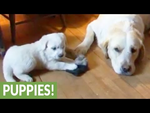 Puppy desperately wants to play with her dad