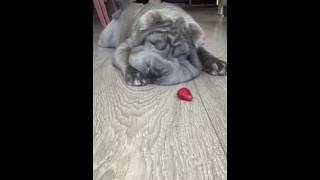 Shar Pei Puppy VS Frozen Berry