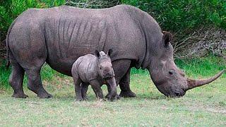 Носороги и их детёныш