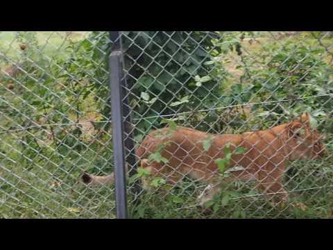 P1301667   Leeuwenjong in Entebbe dierentuin