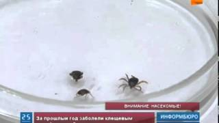 В Алматы - сезонное нашествие клещей