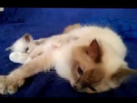 котята фото рэгдолл