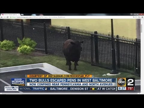 Two bulls escaped from pens in West Baltimore