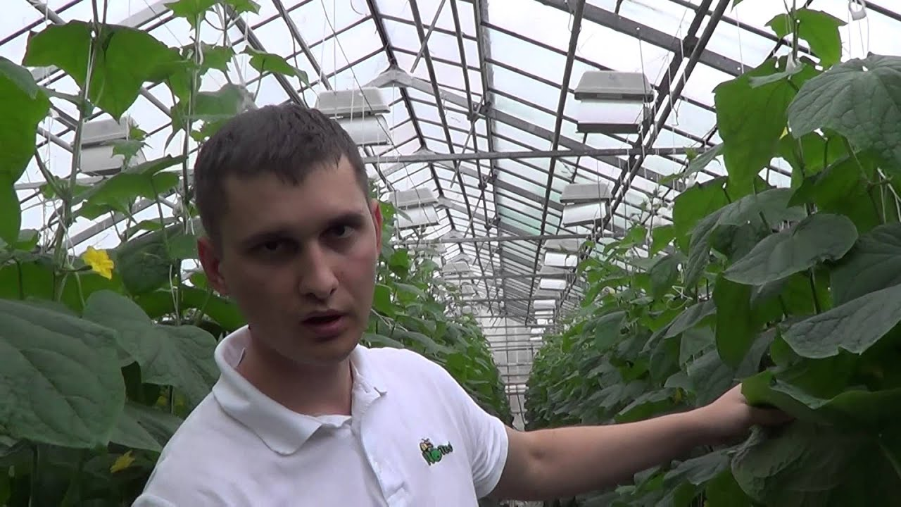 Controlling Thrips using Amblyseius swirskii mites - YouTube