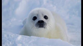 Animales en Peligro de Extinción: Foca