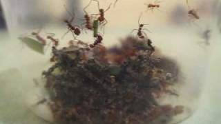 Leafcutter ants - colony A development - Queen, larvae, pupae, workers, fungus