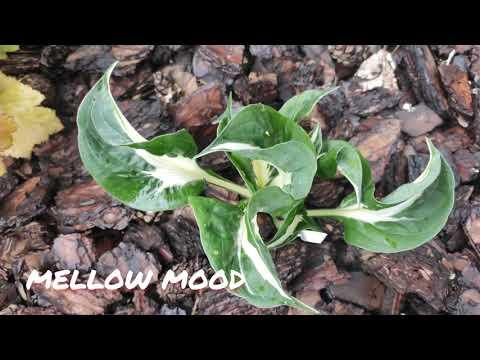 Хоста сорт Mellow mood в июне