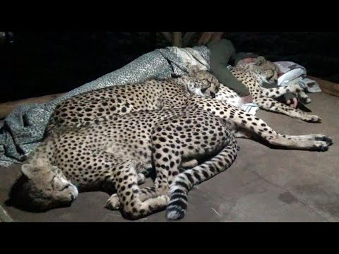 Do Cheetahs Prefer Hard Cold Concrete Or Warm Blankets Pillow & A Friend? | Three BIG CAT Night