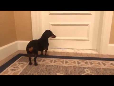 Crusoe the Dachshund Arrives at the Boston Harbor Hotel