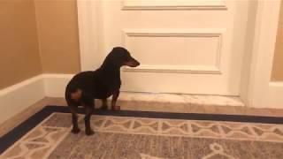 crusoe-the-dachshund-arrives-at-the-boston-harbor-hotel