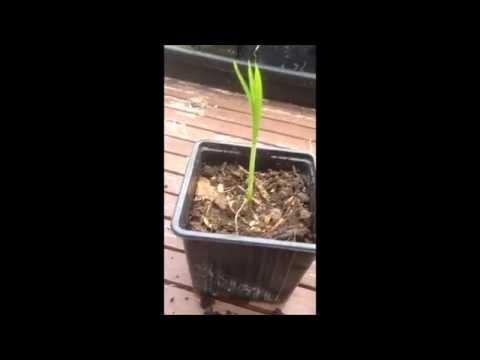 How to propagate an umbrella palm | Cyperus alternifolius