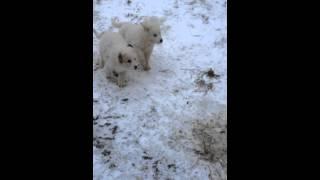 Livestock Guardian Dog Pups at Shannon Brook Farm