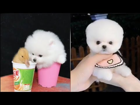 smallest-&-cutest-dogs-in-the-world😍funny-and-cute-puppies-compilation