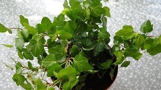 видео Полезные для здоровья комнатные растения