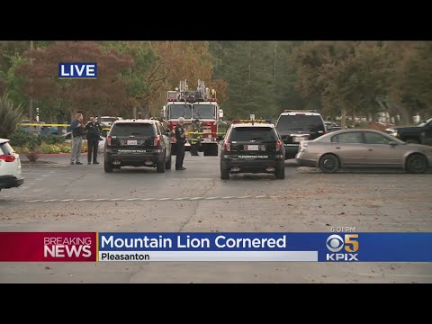 Mountain Lion Spotted In Pleasanton Office Park