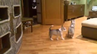 Mom Plays With Her Seven  Husky Puppies