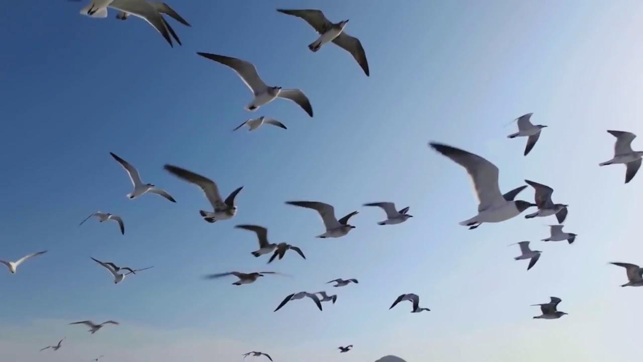 خلفيات فيديو للمونتاج مجانية مشاهد للمونتاج طيور تحلق في السماء Hd بدون حقوق طبع ونشر تحميل مجاني Youtube