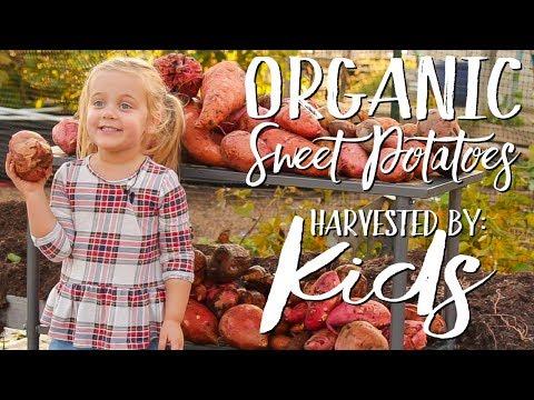 Kids Sweet Potato Reveal | Giant Organic Sweet Potatoes | Simple Organic Gardener