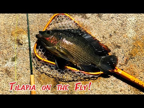 Fly Fishing For TILAPIA! (Urban Pond Hopping!)