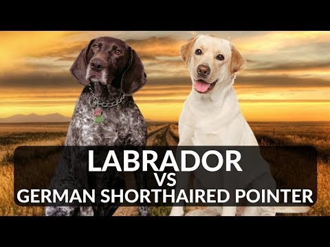 Labrador vs German Shorthaired Pointer