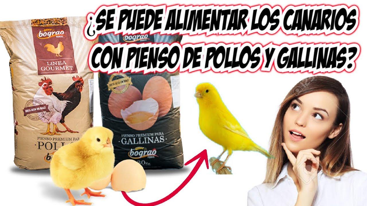 PIENSO DE POLLOS Y GALLINAS PARA CANARIOS ¿SE PUEDE?