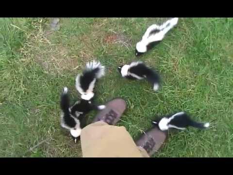 Cute Baby Skunks Youtube