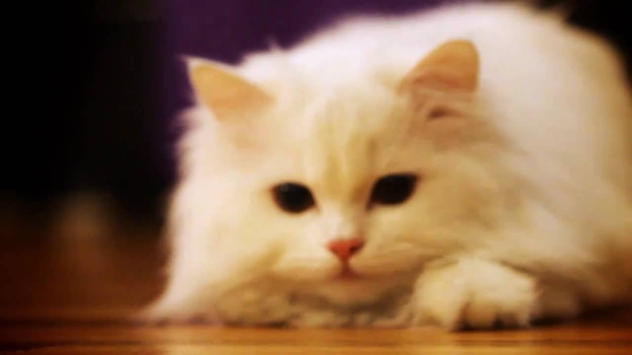 how to train persian cat