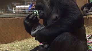 B-Roll: Western lowland gorilla,  Calaya, giving birth