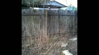 German Shorthaired Pointer- Jumps Privacy Fence