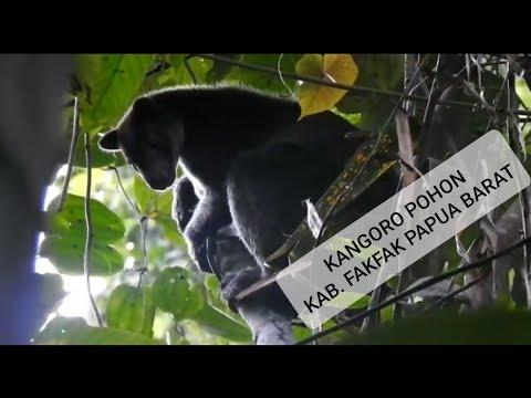 Kanguru Pohon Papua