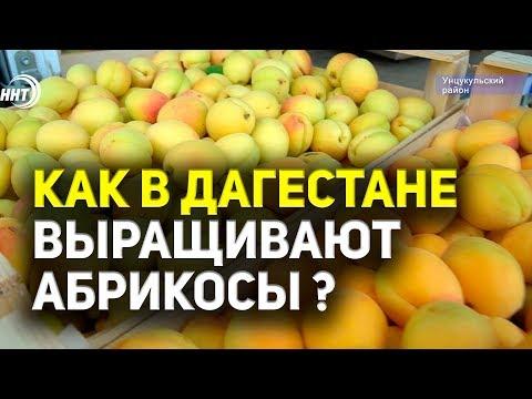 Как в Дагестане выращивают абрикосы ?
