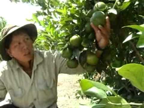 Nhanonglamgiau.com - Mô hình làm giàu với cây quýt đường