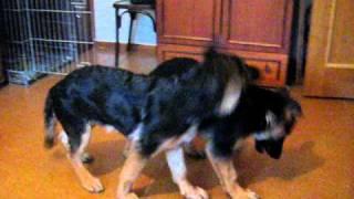 Собаки п-ка Норденлэнд. Борьба за диван.