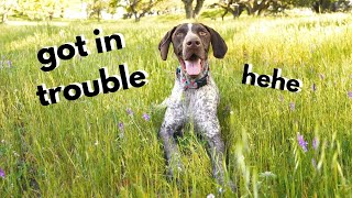 Ran away from Mom | German Shorthaired Pointer & Labrador