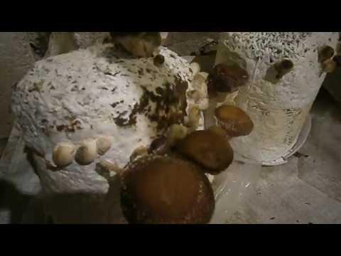 технология выращивания грибов шиитаке в домашних условиях
