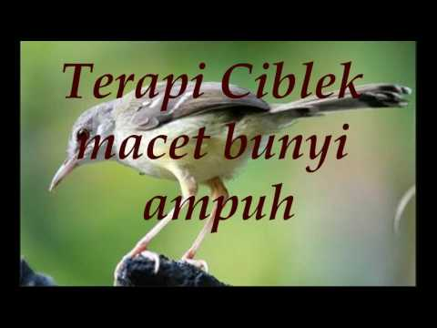 Download Lagu terapi ciblek macet bunyi ampuh