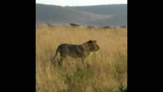 ケニアのマサイ・マラ国立公園でサファリ中、 ライオンの交尾シーンに遭...