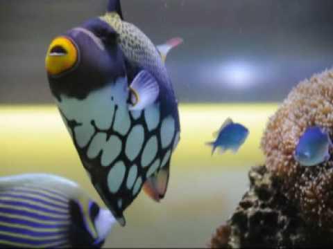 Feeding Blue Ribbon Eel, 13 In Clown Trigger, Nikon D90 Movie Video Review, Powder Blue, Emperor