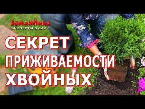 Супер способ посадки хвойных растений. Почему не приживаются хвойники.