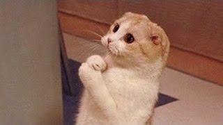 Кошки, настолько забавно, что вы будете смеяться пока не умереть - Забавный кот сборник