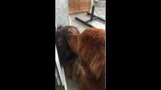 Tibet Mastiff. Happy sweet puppy with his Mamma Hanna. Тибетский мастиф.