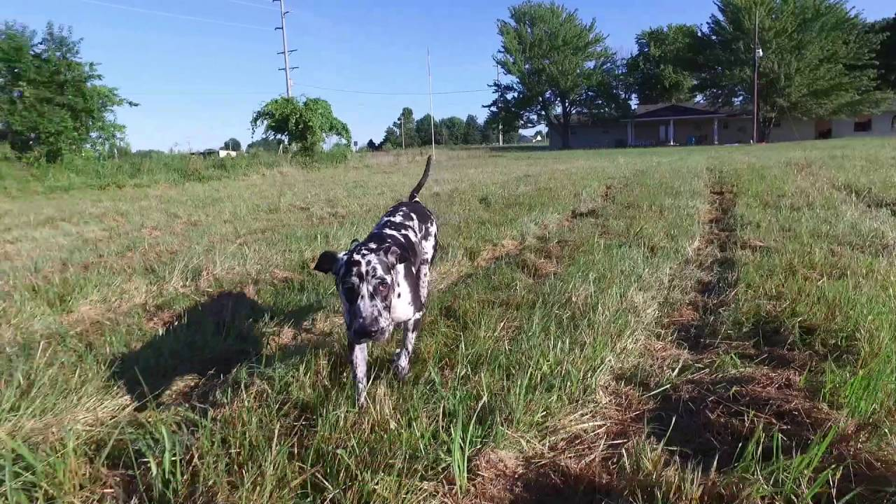 6 mo old great dane mastiff mix pebbles from fearful to confident