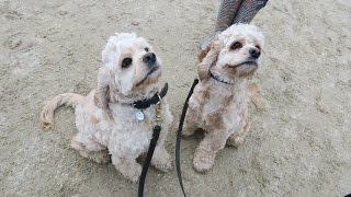 Cosmo & Baxter - American Cocker Spaniels - 3 Week Residential Dog Training