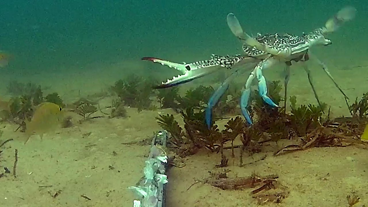 Seagrass beds animals - Underwater In Moreton Bay Tangalooma Seagrass Beds