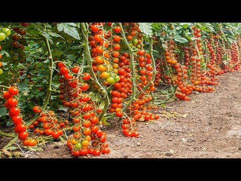 Growing Tomatoes Greenhouse in Europe - Amazing Agriculture Technology