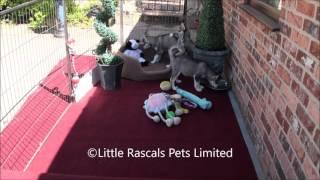 Little Rascals Uk Breeders New Litter Of Husky Puppies