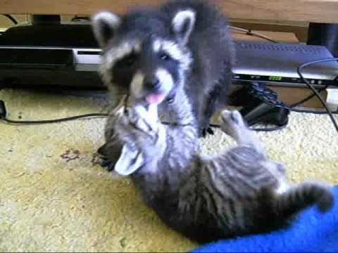 racoon  cat fight waschbaer  katze attakgato  guaxinim